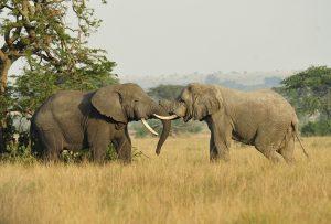 African elephants. (PD)