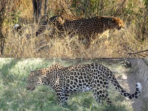 Comparison of cheetah and leopard