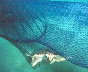Loggerhead Sea Turtle escaping TED net