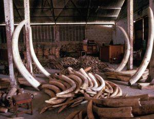 Tanzanian_ivory_stockpile_in_1988_-_EIA-Vanishing_Point