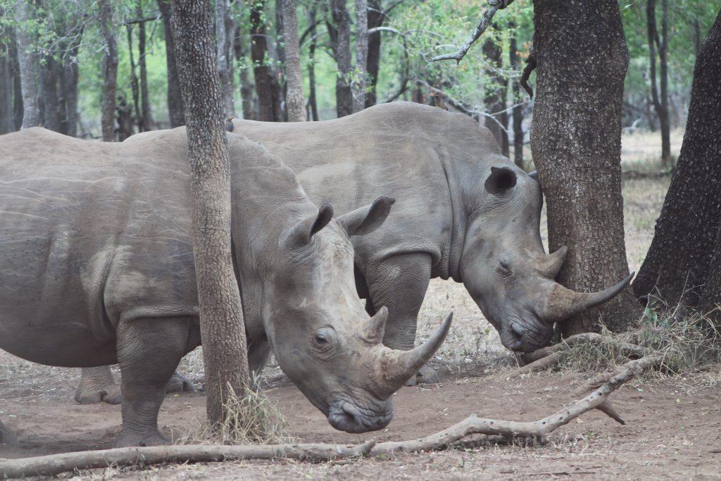 African_White_Rhino_03-USGOV