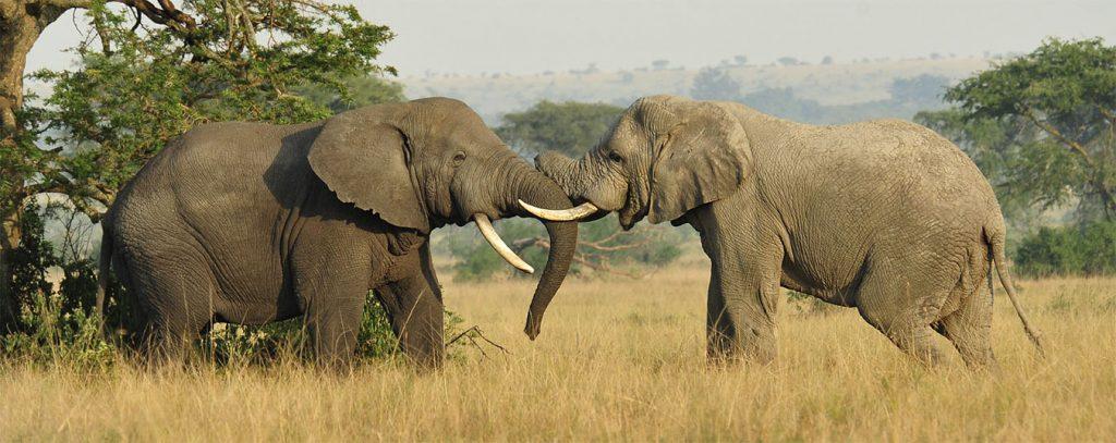 Elephant Poaching Header (PD)