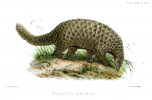 Illustration of a Giant Pangolin (Smutsia gigantea) by Joseph Wolf.