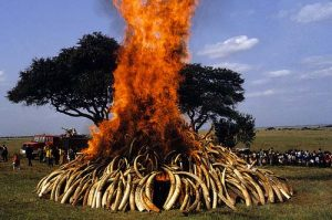 The first ivory burn in Nairobi, Kenya, 1989. Source: AardvarkSafaris.com