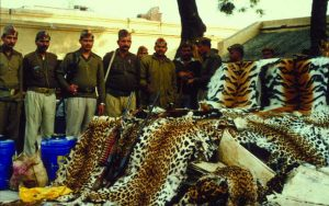 Large seizure of big cat skins in Khaga, India in 2000. Source: EIA Tiger Skin Trail (pg 6).