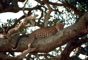 Leopard resting in a tree. Public domain.