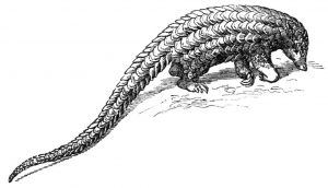 Illustration by Schuppentler of the long-tailed pangolin (Manis tetradactyla).