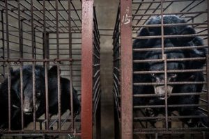Bears kept in cages for bile production and extraction. Photo by Minzayar Oo.