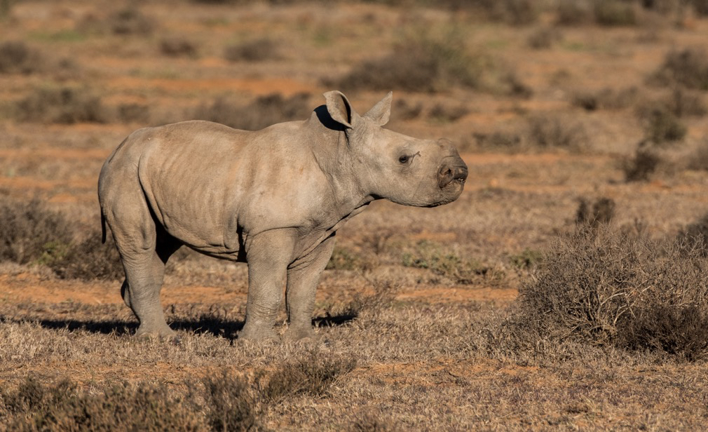 New female rhino calf. Photo by Jody Bloomer.