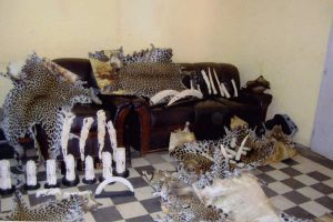 Ivory and leopard skins confiscated during Operation Worthy. © Interpol.