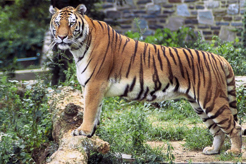 Panthera_tigris_tigris_edited2-19_March_2003_-_2005-05-09_-_by_US_Fish_and_Wildlife_Service_-_John_and_Karen_Hollingsworth