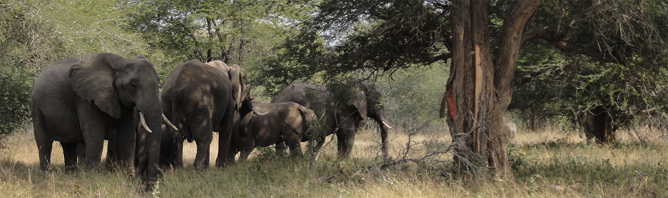 Elephants in South Africa's Kruger NP
