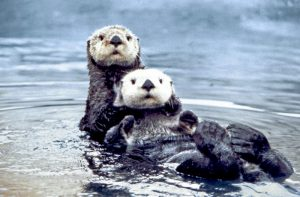 Sea otter pair. Photo by Ed Bowlby, NOAA. PD