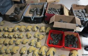 Turtles seized from suitcases. Photo by TRAFFIC.