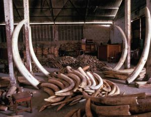 Tanzania's ivory stockpile in 1988. Source: EIA - Vanishing Point (page 9).