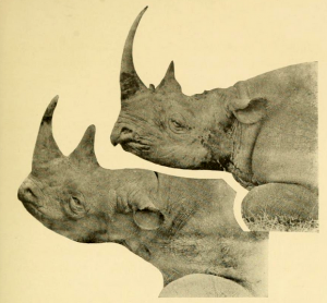Two African rhino. The upper one is likely a black rhino.