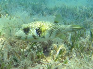 White spotted puffer in a bed of seagrass. Photographed in Dahab, Egypt.