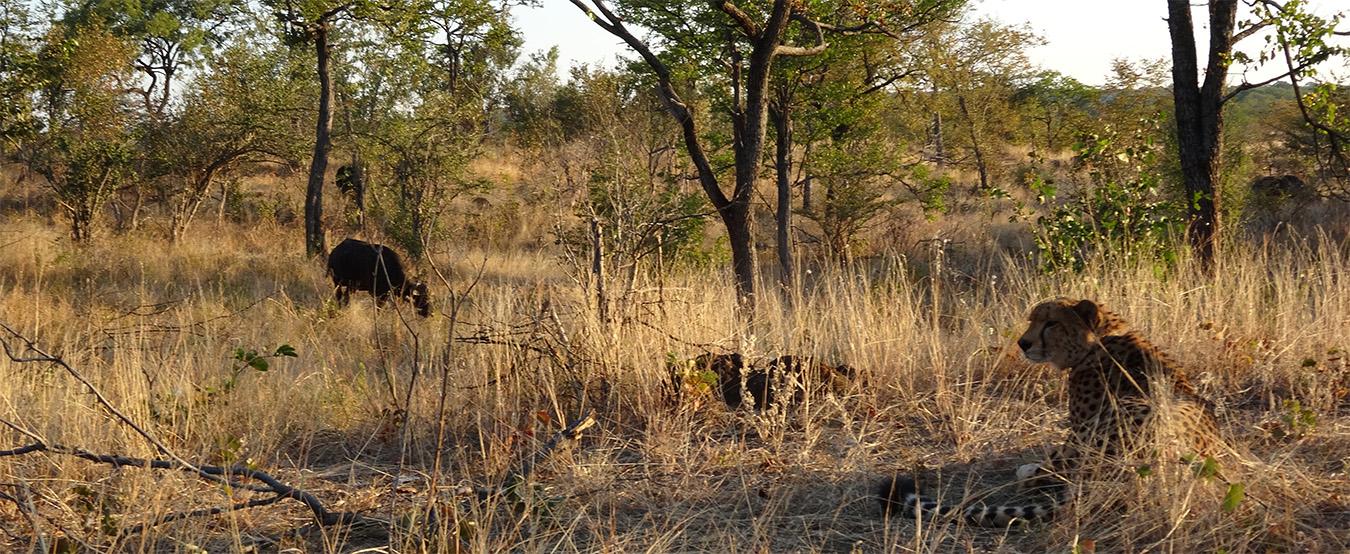 Sylvester the Cheetah, Zimbabwe