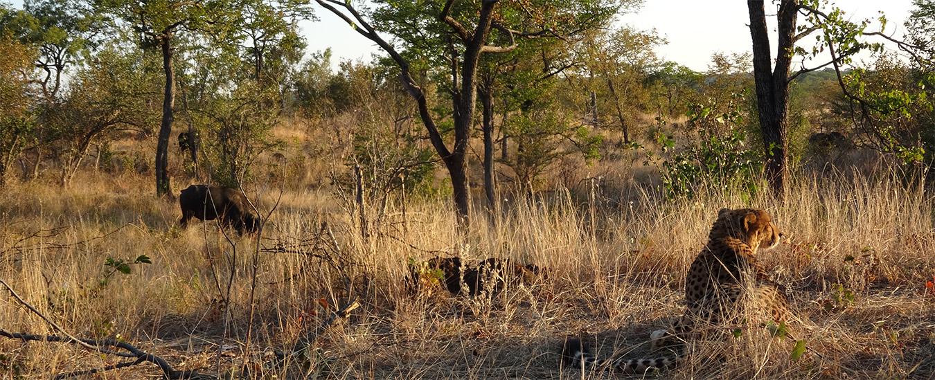 Sylverster, Cheetah in Zimbabwe