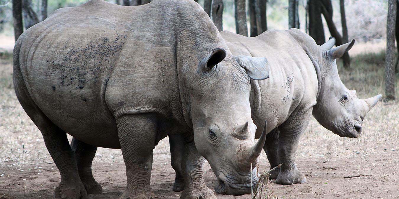 Buyers of Rhino Horn Header (PD)