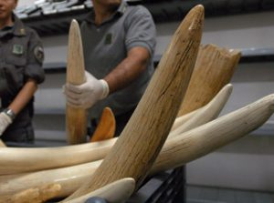 Ivory seized in Italy during COBRA III. © Europol.